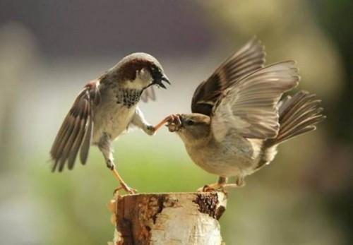 twitter-pelea-pajaritos